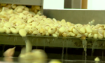 garlic processing production and selection at the factory on a conveyor belt